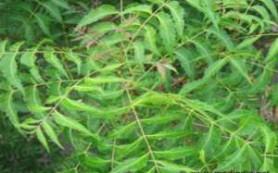 Растение нима лечит рак