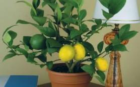 Лимон: эффективное средство для лечения рака