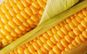 Кукуруза – богатая и щедрая