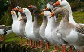 Разведение, содержание и уход за гусями в домашних условиях