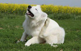 На прием к ветеринару: межпальцевый дерматит у собак