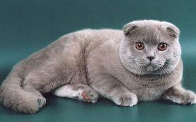 Особенности кошек породы Скоттиш Страйт