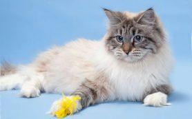 Особенности ухода за невской маскарадной кошкой