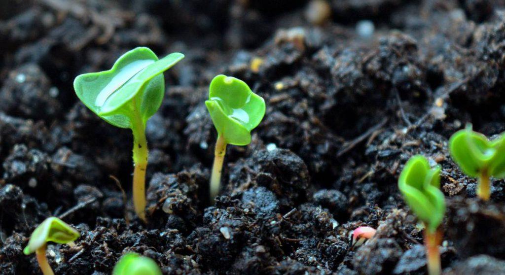 Посадка высокого урожая на стадии рассады