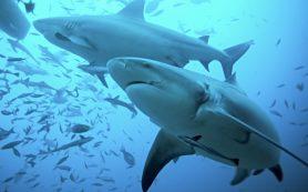 Акулий жир — панацея от суставов