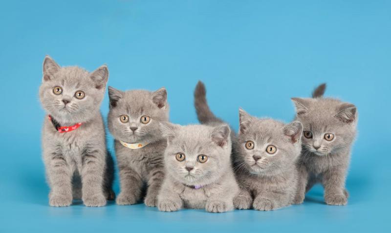 Особенности кормления котят-британцев